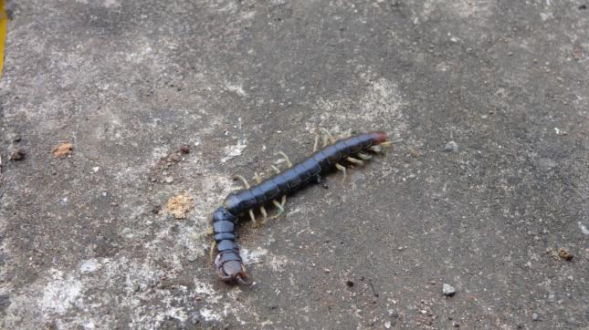 A Giant Centipede.