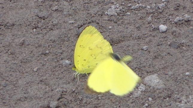 Kupu kupu kuning