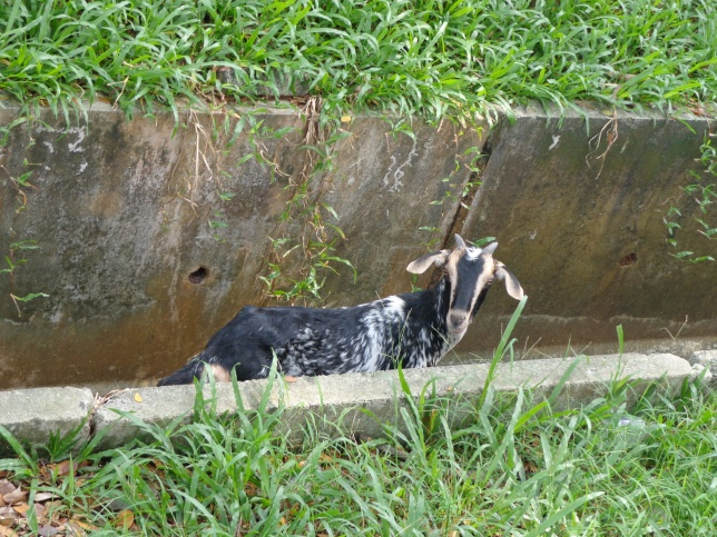 Goat in a gutter eating grass